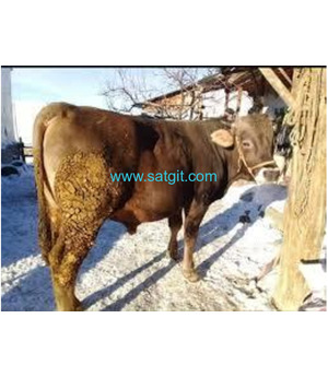 satlık simental ve mantafon danalar düveler inekler boğalar mozikler tosunlar